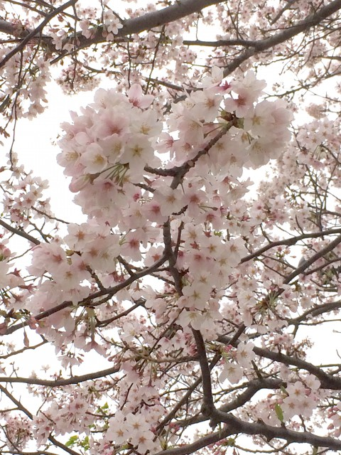 くすもと桜